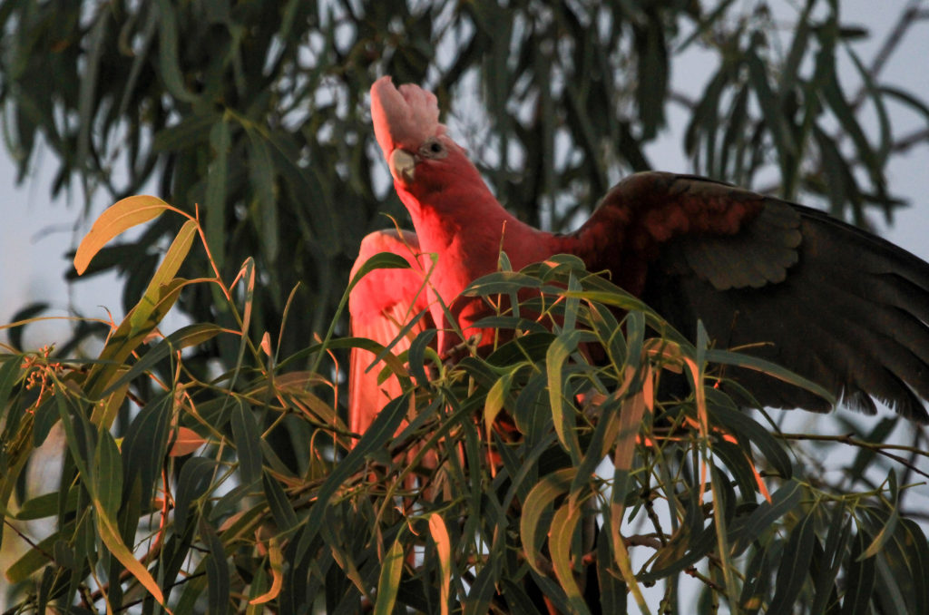 Galah at sunset